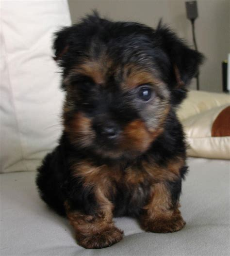 silky terrier puppies for sale malaysia and puppy portal commercial puppies for sale local silky