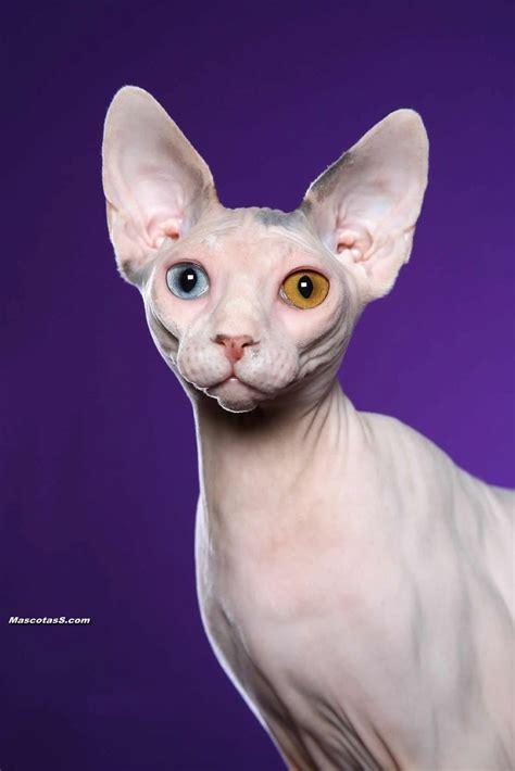 imagenes egipcias de gatos gatos egipcios