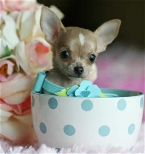 blue teacup chihuahua puppies for sale 93 best puppies for sale images on puppies baby puppies and doggies