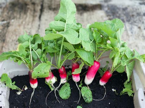 growing radishes indoors diy