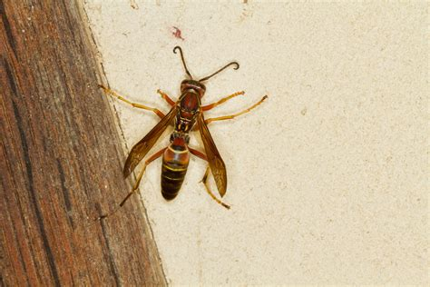 How To Make Paper Wasps - paper wasps economy exterminators