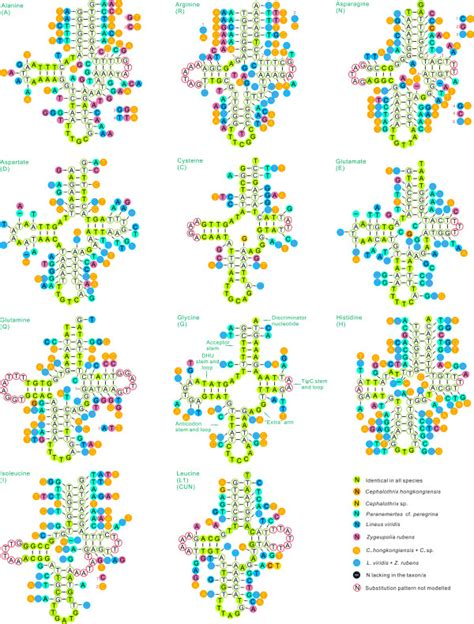 javascript pattern substitution secondary structure of trna families trna trnl1 in