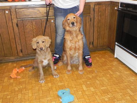 golden retriever grown miniature golden retriever on left and grown future pet pup