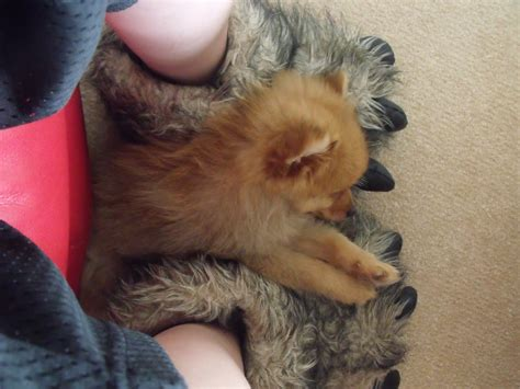 teacup brown pomeranian teacup brown pomeranian