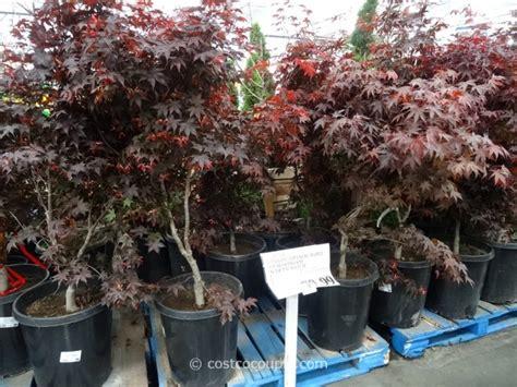 15 gallon maple tree japanese maple bloodgood