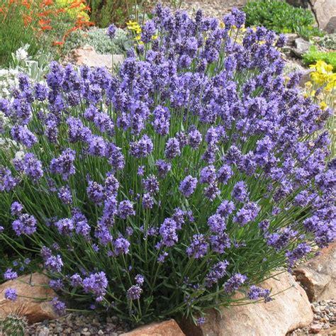 Lavender Planters by Best 20 Lavender Ideas On