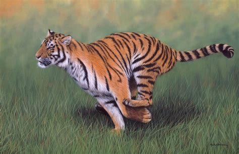 how fast can a run white bengal tiger running www pixshark images galleries with a bite