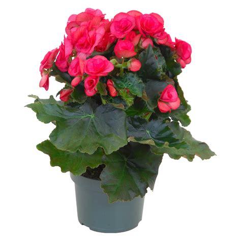 begonie in vaso begonia quot elatior quot rosa vaso 216 13 cm acquista da obi