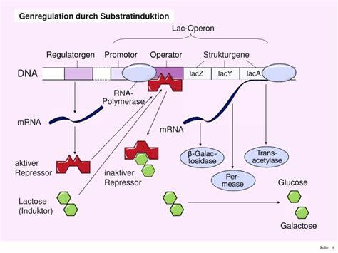 repressor i induktor ppt aufgabe pr 228 sentieren sie die regulation der genaktivit 228 t bei e durch