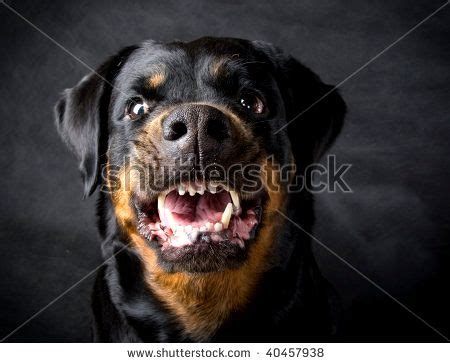 rottweiler attacks pin angry rottweiler photos on
