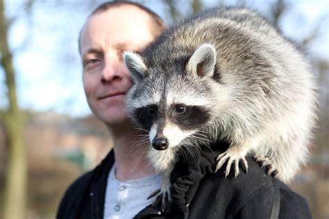 zella the pet raccoon youtube