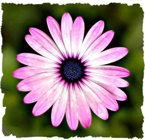 purple daisy picture