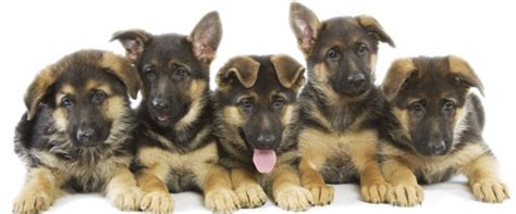 dogs site german shepherd guide dogs breeds picture