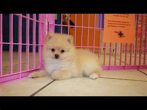 pomeranian puppies in alabama pomeranian puppies for sale local breeders funnydog tv