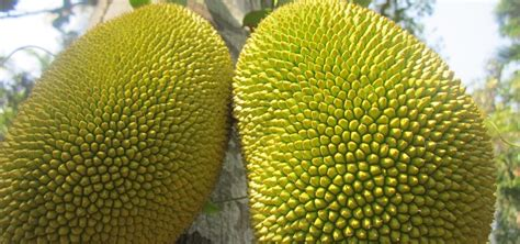 Kitchen Knives For Kids by How To Cut A Jack Fruit 171 Fruit Wonderhowto