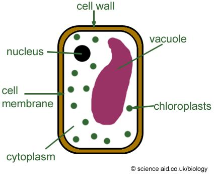 Has A Cell Drawing by Picture Of Plant Cell For Simple Plant Cell Diagram