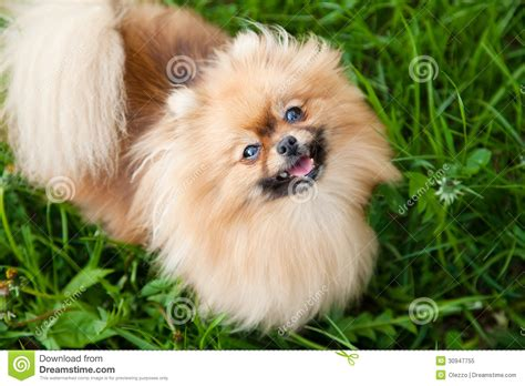 pomeranian sitting when we go to dinner royalty free stock photo image 30947755