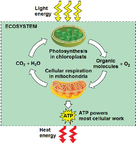 photosynthesis and respiration diagram chapter 8 molecular and cell biology 61 with avila at