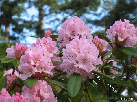 rhododendron christmas cheer name that plant