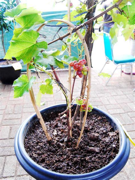 Pupuk Untuk Merangsang Bunga petik anggur di pot bebeja