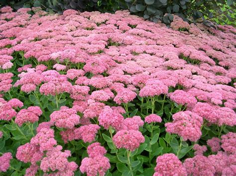 how to grow sedum gardening sedum growing sedum