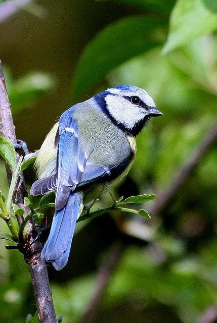 25 best ideas about blue tit on pinterest pretty birds