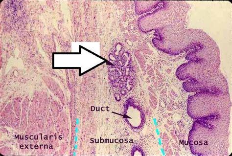 esophagus cross section biology 233 gt alla gt flashcards gt lab practical 1 studyblue