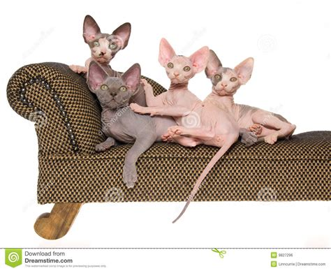 Hairless Sphynx Kittens On Mini Brown Couch Royalty Free