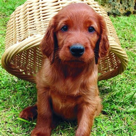 irish setter dog characteristics irish setter history personality appearance health and