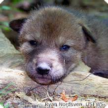 Red wolf national wildlife federation