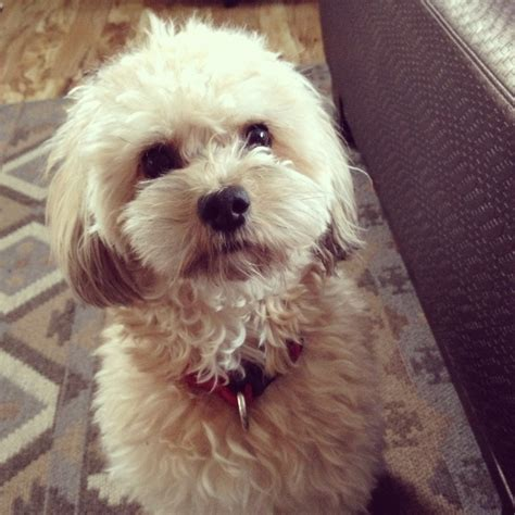 what is the best cut for a malti poo maltipoo dogs cute maltipoo1 com pinterest dogs