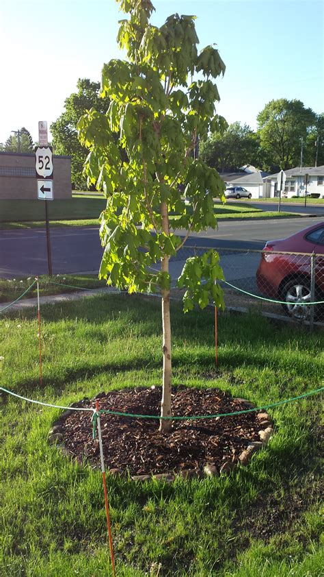 maple tree droopy leaves newly planted apollo sugar maple trees forum at permies