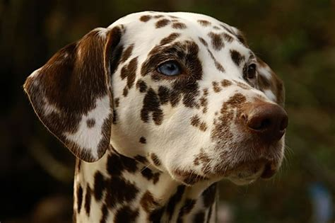 blue eyed dalmatian puppies for sale dalmatian puppies with blue breeds picture