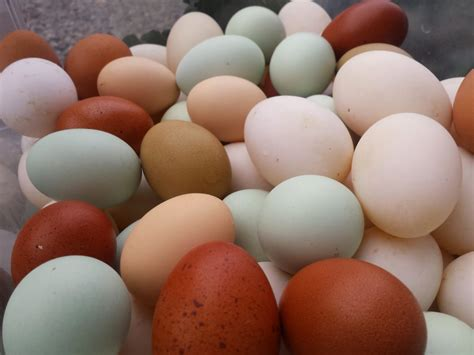 different colored chickens offer eggs with more nutrients than store