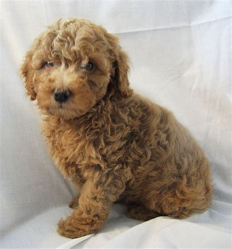 pookie doodle puppy words goldendoodle puppies for words future