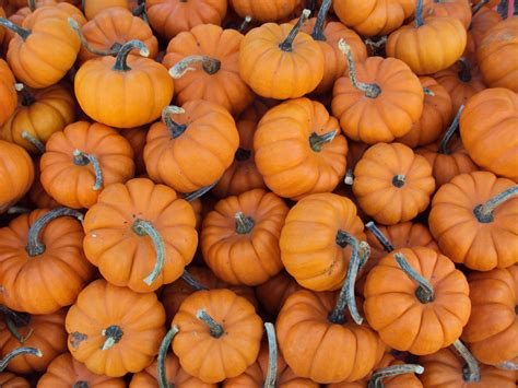 pumpkin pictures file mini pumpkins jpg