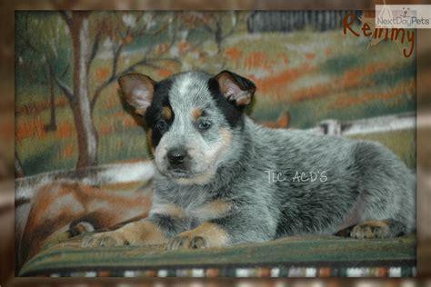 blue heeler puppies for sale near me australian cattle blue heeler puppy for sale near kansas city missouri ad2f2f06