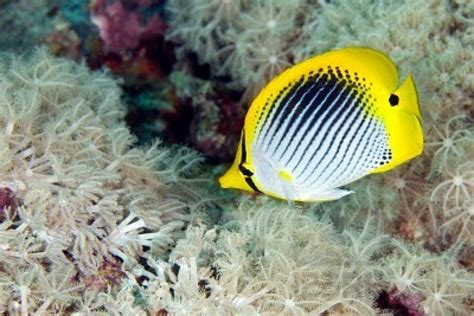 www fish butterfly fish animal wildlife