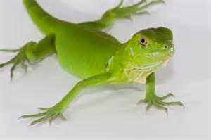 les fruits de mer 187 blog archive 187 baby iguana