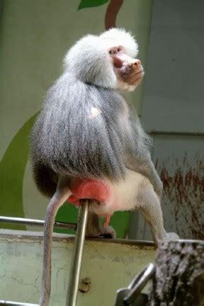 sedere di scimmia il babbuino a riposo