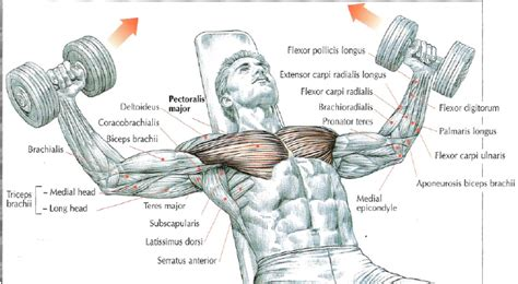 incline bench muscles incline dumbbell flys the stephane andre