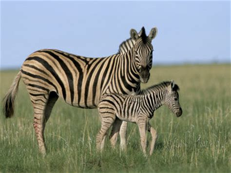 house zebra plains zebra