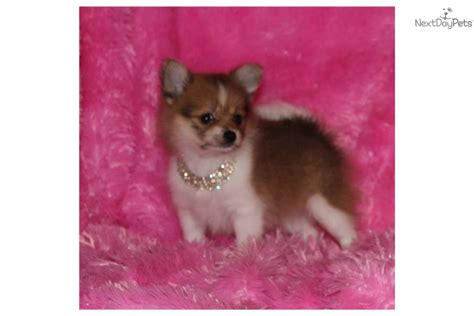 teacup pomeranian brown the gallery for gt brown teacup pomeranian