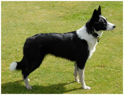 Border Collie Shed by Border Collie Puppies Pictures Diet Facts