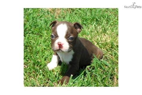 boston terrier puppies tulsa boston terrier puppies for sale for sale in tulsa oklahoma breeds picture