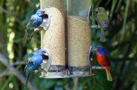 How To Attract Indigo Buntings To Your Backyard by Attract Indigo Buntings With Millet Seed