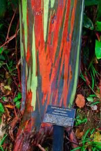 rainbow trees the rainbow eucalyptus ferrebeekeeper