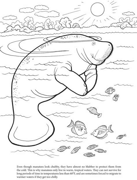 another free coloring page manatee http visitwestvolusia