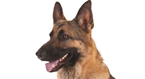 german shephard puppy german shepherd history temperament american kennel club