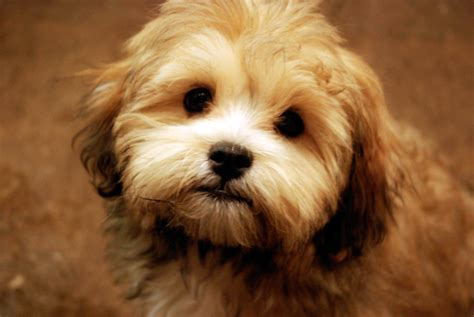 bichon shih tzu mix for sale in michigan shih tzu bichon mix for sale